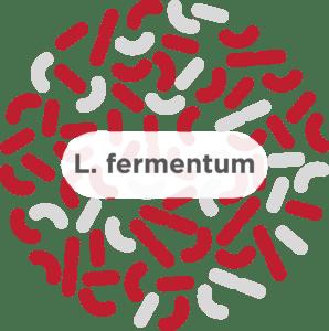 L. fermentum
